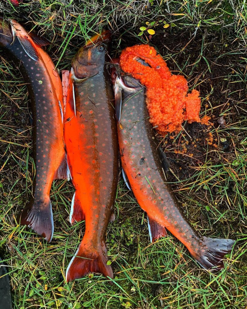 Colorful arctic char.